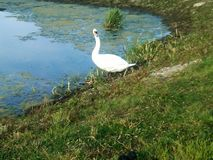 Swan. White swan on the side on a pond Royalty Free Stock Photos