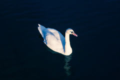 Swan. White Swan. White on black. Bright white swan backlit on a dark blue water. Swan floating on the lake a bright day. Swan. White Swan. White on black Stock Photo