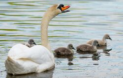 Free Swan. White Swans. Goose. Swan Family Walking On Water. Swan Bird With Little Swans. Swans With Nestlings Royalty Free Stock Image - 182612416