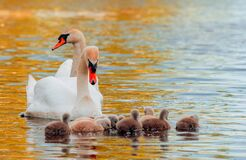 Free Swan. White Swans. Goose. Swan Family Walking On Water. Swan Bird With Little Swans. Swans With Nestlings Stock Images - 182612874