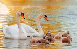 Free Swan. White Swans. Goose. Swan Family Walking On Water. Swan Bird With Little Swans. Swans With Nestlings Royalty Free Stock Images - 182612909