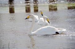 The swan Stock Photos