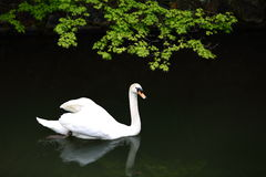 Swan. A white swan is swimming in the lake Royalty Free Stock Images