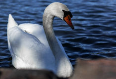 Swan white. Swan swimming on the lake to people Stock Photo
