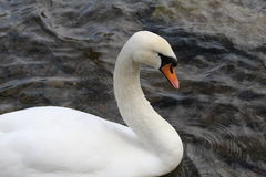 Swan. A white swan swimming on a river causing ripples Stock Photo