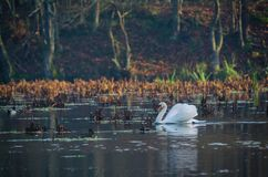SWAN. Wild bird on a lake in the morning Royalty Free Stock Image