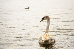 Swan in the wild Royalty Free Stock Photos