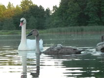 Swan. Wild Swans father and mother and two chicks Royalty Free Stock Image