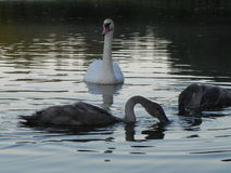 Swan. Wild Swans father and mother and two chicks stock photo