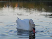 Swan. Wild Swans father and mother and two chicks stock image