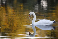 Swan in the wild Stock Photography