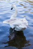 Swan with Wing Splayed Stock Images