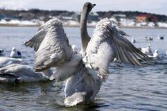 Swan wings Stock Photos