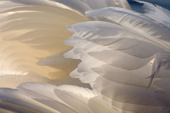 Swan wings Royalty Free Stock Image