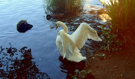 Swan Wings Stock Images