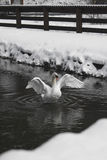 Swan with wings spread Stock Photo