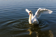 Swan wings up Royalty Free Stock Image