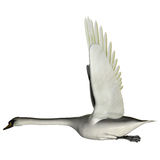 Swan Wings Up. The Swan is from a genus of waterfowl and is among the largest flying birds Royalty Free Stock Photo