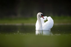 Swan with Wings up on Lake Stock Photos