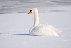 Swan in Winter Royalty Free Stock Images
