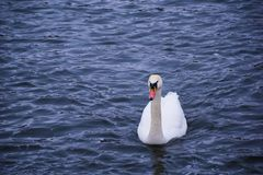 Swan on the winter lake Royalty Free Stock Photos