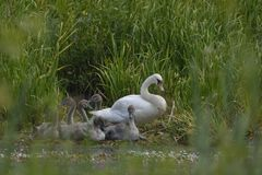 Swan With The Young In The Nest Royalty Free Stock Image