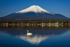 Swan on Yamanaka lake with Mt. Fuji. White Swan swimming on Yamanaka lake with Mount Fujisan or Fuji against blue sky, Yamanashi, Japan Stock Photography