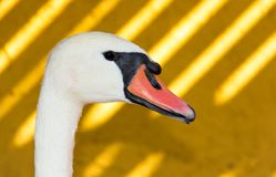 Swan on a yellow shadowed background. Close-up of a Mute Swan Head on a yellow shadowed background royalty free stock photography