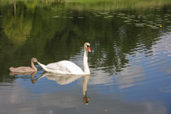 Swan and young Royalty Free Stock Photography