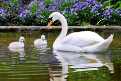 Swan and young Stock Photos
