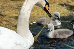 Swan. With young royalty free stock photography