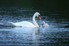 Swan with young on the lake in their nature habitat Royalty Free Stock Photos