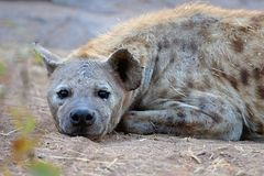 Swan with young on the lake in their nature habitat. Spotted hyena in the nature habitat in Africa, carnivore, african scavengers, wild africa, african nature Stock Photo