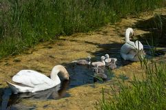 Swan with young ones. Swan with young once royalty free stock photo