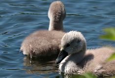 Swan Young, Waters, Baby Swans Royalty Free Stock Images