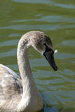 Swan Royalty Free Stock Photography
