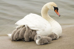 Swan With Youngling Royalty Free Stock Photo
