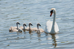 Swan with youngsters Stock Photography