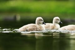 Swan youngsters on lake surface royalty free stock images