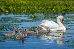 Swan and youngsters swimming in the Danube Delta, Romania. Wildlife birds and birdwatching photography and a common sighting for tourists in the Danube Delta stock photo
