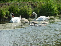 Swan with youngsters Royalty Free Stock Images