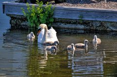 Swan with your fledglings Stock Image