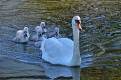 Swan with your fledglings Stock Photos