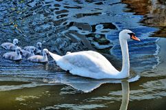 Swan with your fledglings Royalty Free Stock Photo
