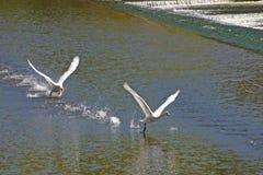 swan znad rzeki Obraz Royalty Free