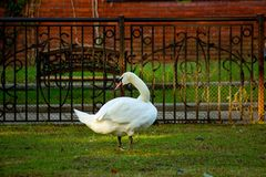 The swan in the zoo looks away. stock image