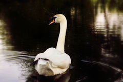 Swan01. Delicate swan swimming in the lake royalty free stock photos