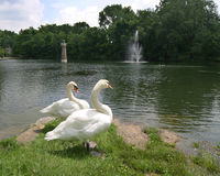 Swan1. Two swans sunning by a pond with fountain and lighthouse in the background Stock Photo