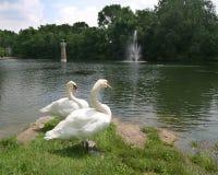Swan1 Foto de Stock