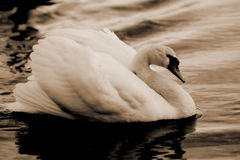 Swan1. Swan swimming in a lake, sepia Royalty Free Stock Photography